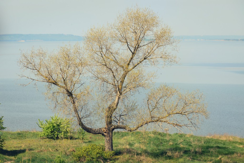 Trident, cross shape tree without leafs on blue river background in the morning and early spring