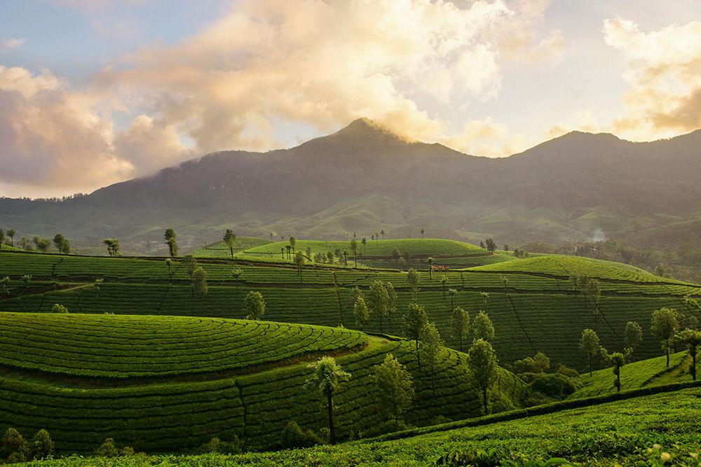 Mountain tea plantation on sunset background in Munnar, Kerala, India