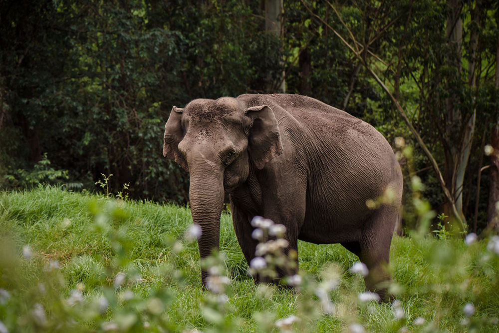 Wild elephant on the green valley. Munnar. India
