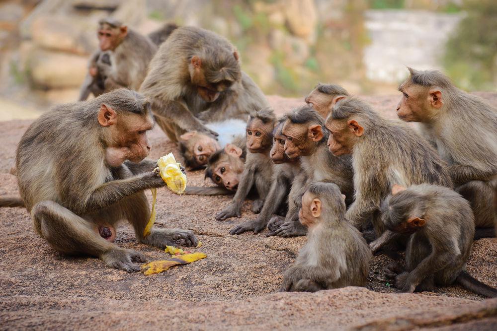 Мавпи в Хампі на кожному кроці