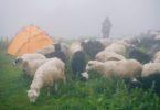 пастух і отара овець